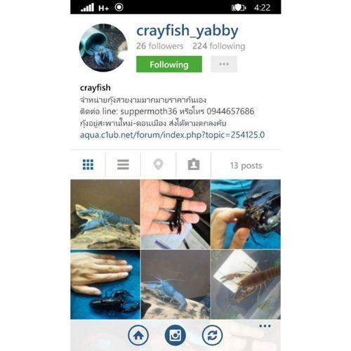 ฝากร้าน ของเพื่อนฮะ น้องกุ้งสีสวยๆ @crayfish_yabby Crayfish_yabby Crayfish Bangkok Thailand