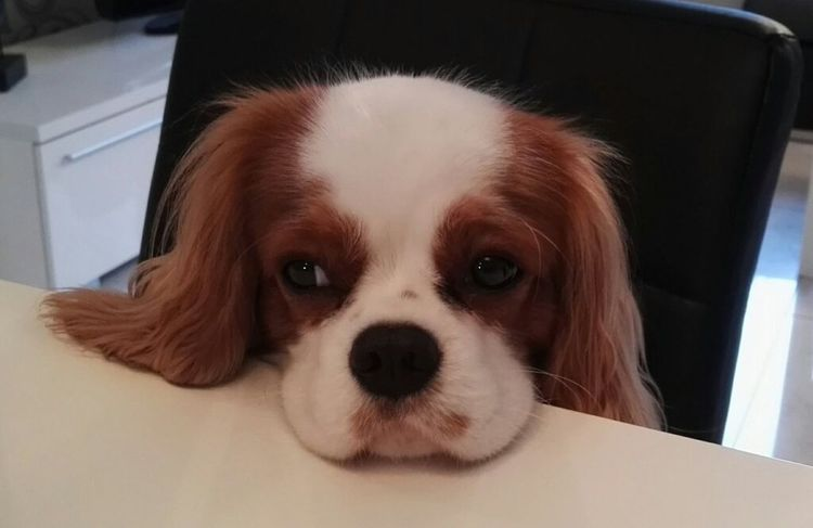 Dog Pets One Animal Looking At Camera Cavalierkingcharles Portrait Cavalier  Sweet♡ Cute Bestfriend
