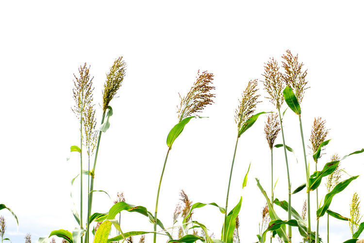Agriculture Beauty In Nature Cereal Plant Clear Sky Close-up Crop  Day Ear Of Wheat Field Freshness Grass Green Color Growth Leaf Low Angle View Nature No People Outdoors Plant Rural Scene Sky Sorghum Stem Wheat