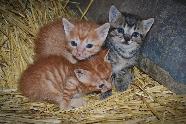 Animals In The Wild EyeEm Animal Lover EyeEmNewHere Gato Animal Themes Close-up Day Domestic Animals Domestic Cat Hay Indoors  Kitten Looking At Camera Mammal Mascota No People Pets Portrait Togetherness Two Animals Young Animal