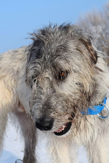 One Animal Animal Themes Looking At Camera Portrait Outdoors Close-up Sunlight Cearnaigh Irish Wolfhound Dogslife Dogs Of EyeEm Dog Of The Day Dogs Of Winter Dogwalk Winter 2017 How's The Weather Today? January 2017 It Is Cold Outside Sky Cold Temperature Clear Sky Tranquility Bokeh