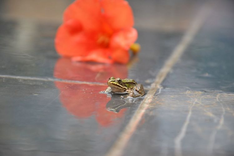 Frog Rain Flower Red Close-up Animal Wildlife Animal Day One Animal No People Nature Outdoors Tiny Animal Themes Animals In The Wild Selective Focus Ground Level View Invertebrate Fragility Freshness Beauty In Nature Little Batrachian Wet Humid My Best Photo