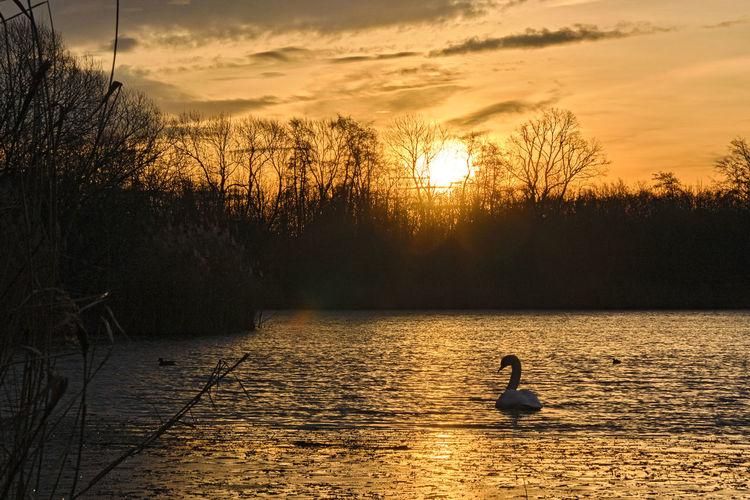 Silhouette ducks swimming in lake during sunset