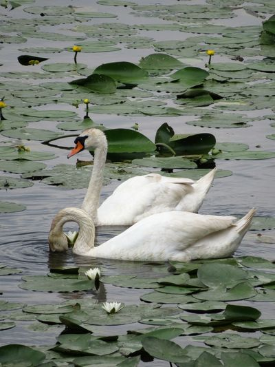 Animal Themes Animal Wildlife Animals Animals In The Wild Balaton Beak Bird Photography Birds Couple Feathers Floating On Water Flowers Lake Lake View Lily Pad Love Net Scenics Swimming Togetherness Tranquility Trip Photo Water Flowers Water Lillies White Bird