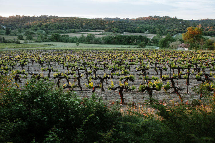 France France 🇫🇷 France🇫🇷 Vineyard Vine - Plant Vineyards  Vineyard Cultivation Springtime Spring Sunrise Winemaking Agriculture Travel Destinations Travel Tranquility Backgrounds Background Wallpaper Grapevine Vines Plant Sky Growth Landscape Field Scenics - Nature Environment Tranquil Scene Beauty In Nature Land Nature No People Outdoors Syrah Cabernet Cotes Du Rhone CôtesduRhône Springtime Decadence