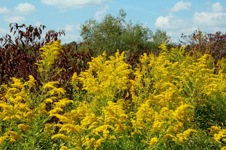 This beautiful, autumn-bright colony of Giant Goldenrod brightens up the fall landscape. Abundance Autumn Blue Change Clouds Day Field Floral Giant Goldenrod Goldenrod Green Green Color Growing Growth Landscape Light Lush Foliage Meadow Relaxing Moments Rural Scene Scenery Sky Wildflowers Yellow