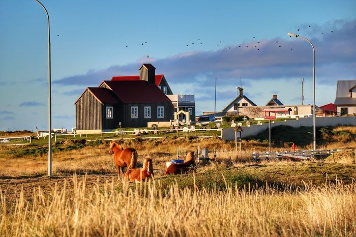 Icelandic Horses Autumn Colors Horses Of Eyeem Outdoors Contryside Contry Living Farmland Countryside Day Tranquility Architecture
