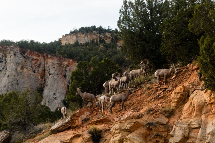 Zion National Park Animal Themes Animal Wildlife Animals In The Wild Large Group Of Animals Mountain Nature Outdoors Rock - Object