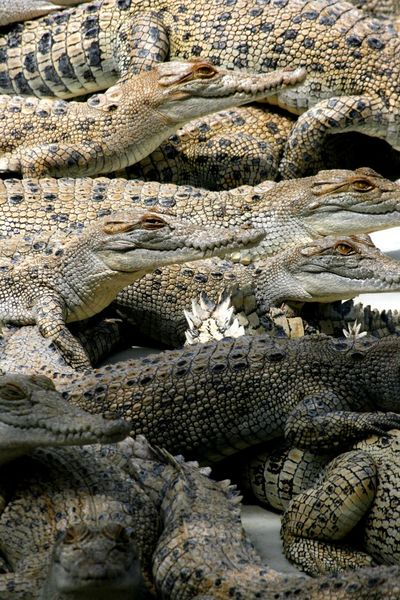 Young crocodiles in Northern Territory Australia Dangerous Animals Northern Territory Animal Themes Animal Wildlife Australian Crocodile Carnivores Close-up Crocodile Crocodile Farm Crocs Day Nature No People Outdoors Reptile
