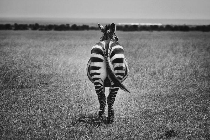 Rear View Of Zebra On Field