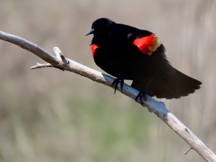 Redwing blackbird perching on a bare tree branch closeup puffed up birdwatching EyeEm nature lover focus on the foreground beauty in nature outdoors at the preserve