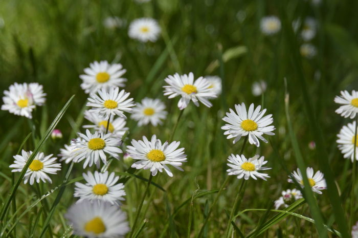 White Daisy's in grass Daisy Daisy Flower Beauty In Nature Blooming Close-up Day Flower Focus On Foreground Growth Multiple Nature No People Plant White Daisy