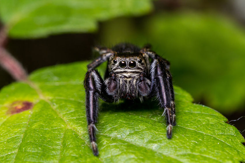 Ragno saltatore nero. Black jumping spider. Animal Themes Animal Wildlife Animals In The Wild Canon 600D + Tamron 90 2.8 Close-up Close-up Shot Day Eye4photography  EyeEm Best Edits EyeEm Best Shots EyeEm Gallery EyeEm Nature Collection EyeEm Nature Lover Green Color Jumping Spider Macro Macro Photography Nature Nature Photography Nature_collection No People One Animal Outdoors Spider