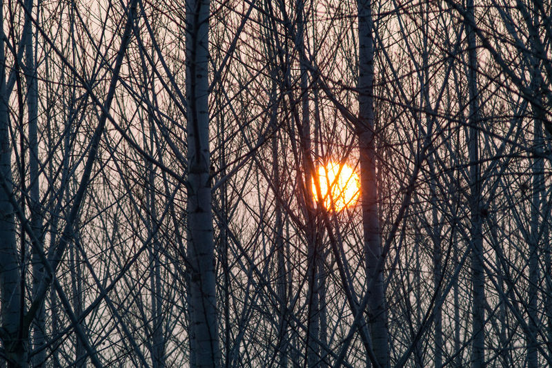 group of poplars at sunset Downtown Nature Sunset_collection Bare Tree Beauty In Nature Branch Forest Land Nature No People Outdoors Pioppeto Pioppi Plant Poplar Poplar Tree Poplars Sky Sunset Sunset Tree Tree Tree Trunk Trunk