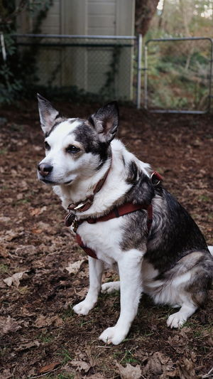Dog Harness Watching Waiting Quiet Moments Quiet Calm Sitting Outside Fall Leaves Single Animal Dog Portrait Portrait Photography Dog Portrait Pets Dog Pet Collar Close-up Canine