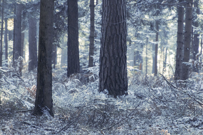 Winter Day Environmental Issues Fern Forest Forest Fire Growth Nature No People Outdoors Pine Tree Plant Power In Nature Tree Tree Trunk Vitality Wilderness Area WoodLand