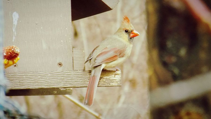 Female northern cardinal perching on wooden birdhouse