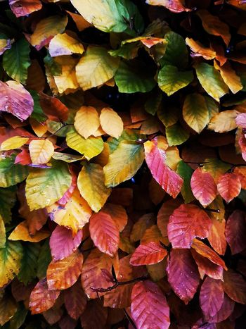Autumn Leaves Colored Beauty In Nature Fall Fall Colors Fall Beauty Autumn Beauty Autumn colors Colored Leaves Coloured Full Frame Backgrounds Leaf Multi Colored Textured  Close-up Leaves Autumn