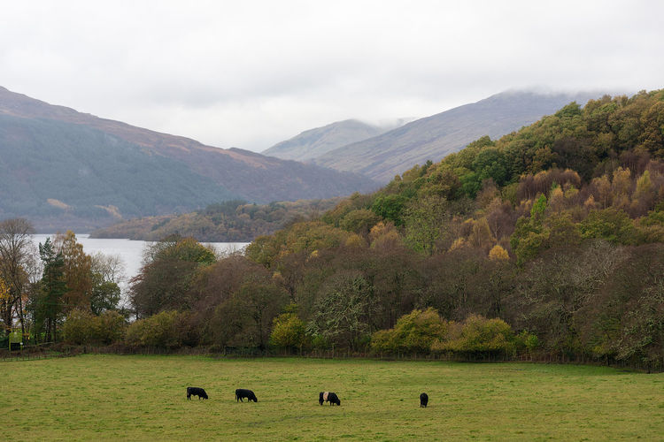 Four black cattle grass in field in the foreground of a autumn landscape scene of trees, a lake and the rolling hills of Loch Lomond National Park in Scotland, UK. National Park Scotland Animal Animal Themes Beauty In Nature Day Domestic Animals Environment Grass Grazing Group Of Animals Herbivorous Herd Land Landscape Livestock Loch Lomond Mammal Mountain Mountain Range Nature No People Outdoors Scenics - Nature Tree