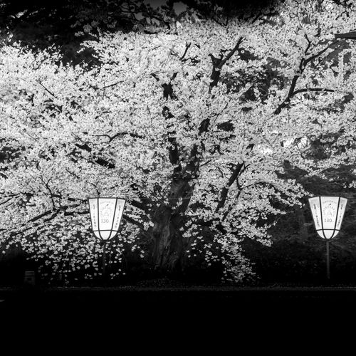 sakura tree - Hirosaki - Japan Plant Tree Lighting Equipment No People Growth Nature Blossom Street Light Flower Street Flowering Plant Outdoors Freshness Day Architecture Fragility Branch Springtime Illuminated Cherry Blossom Cherry Tree Sakura Hirosaki Japan Japan Photography Cherry Blossoms Cherry Blossom Lantern Sakura Blossom