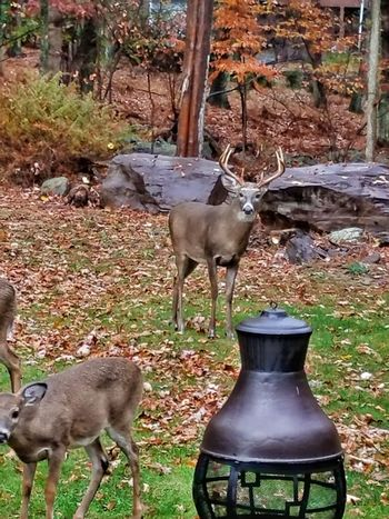 Animal Themes Animals In The Wild No People Outdoors Nature Tree Nature_collection Nature Photography Outdoor Photography Deer Whitetail Deer Animal Wildlife Animals In The Wild Nature Deer Horns Deer In My Yard Whitetail Buck