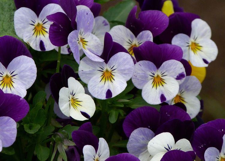 Colorful Garden Flowering Plant Flower Vulnerability  Fragility Petal Freshness Beauty In Nature Plant Flower Head Inflorescence Growth Close-up Pansy Purple White Color Outdoors Botany Nature Colorful Springtime Full Frame Backgrounds Garden Blooming Floral