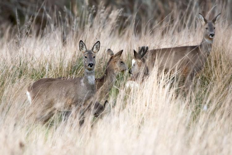 Roe Deer Animal