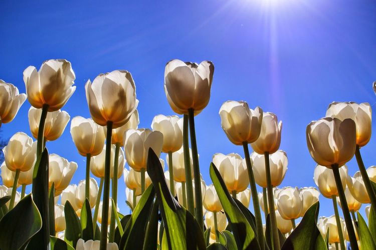 tulips Flower Tulips Flowers Nature Photography Nature White Beautiful