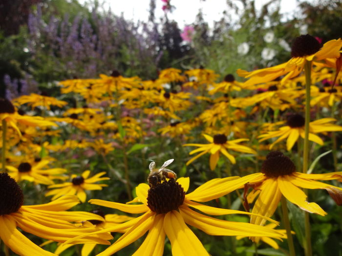 Abundance Beauty In Nature Bee Black-eyed Susan Blossom Botany Close Up Field Flower Flower Head Focus On Foreground Fragility Freshness Garden Growth Insect Nature Plant Rural Scene Scenics Selective Focus Springtime Vibrant Color Yellow Yellow Color