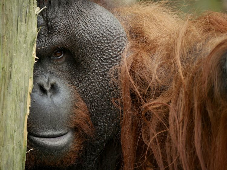 Beautiful Orangutan telling a story with his eyes Orangutan Orangutans Orange Brown Ape Greatape Great Ape Bornean Orangutan Borneanorangutan Face Animal Portrait Animals Animal Head  Beautiful Endangered Species Endangered  Endangered Animals Portrait Close-up
