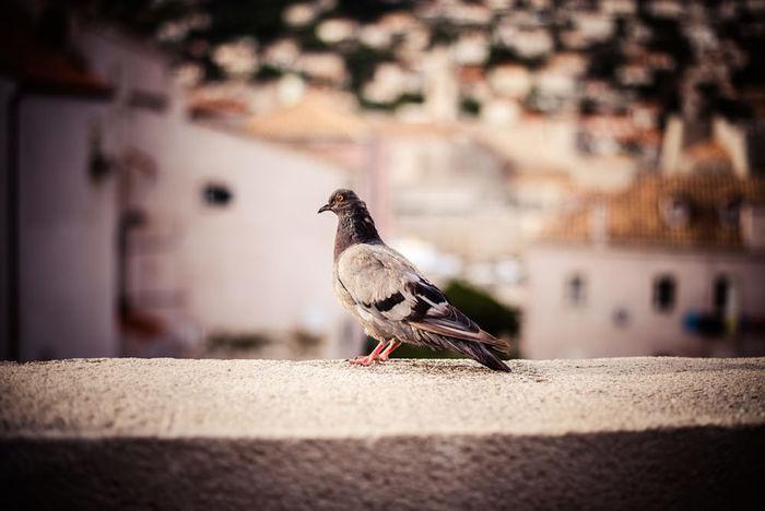 Bird Dubrovnik Croatia King's Landing Traveling Travel Travel Photography