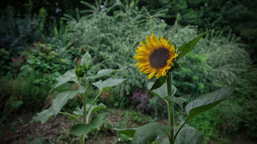 Blossom Green Color Plants Sun Flowers Yellow