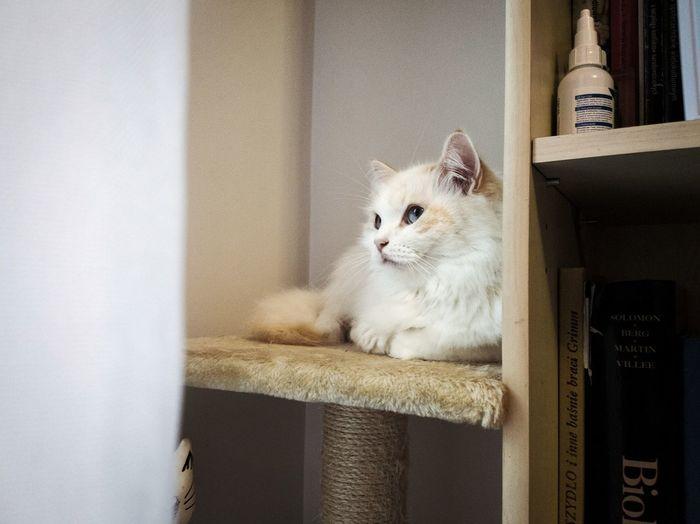 Cat Nevamasquerade Siberian Cat White Cat Domestic Cat Pets Indoors  Domestic Animals Animal One Animal Feline Portrait Mammal No People