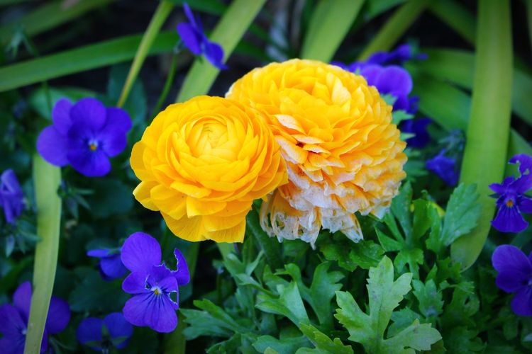 Canon Flower Yellow Blue Stately