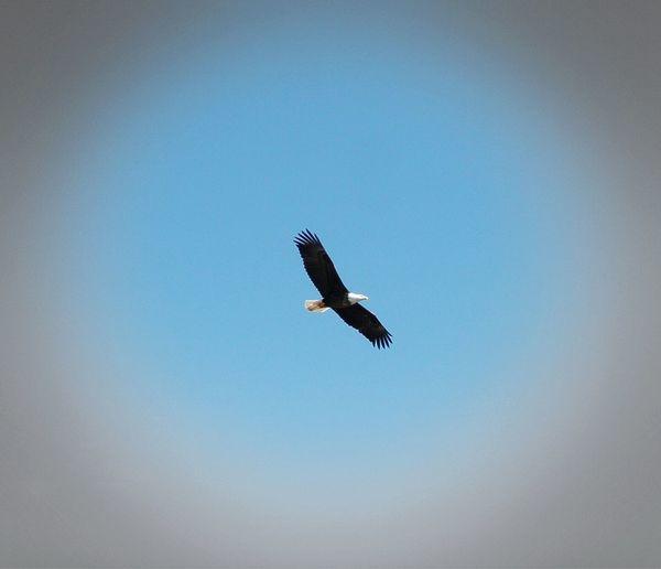 Bald Eagle. American Eagle Bald Eagle Soaring Up Above Enjoying Life Natural Beauty Nature Photography Wildlife & Nature Wildlife Eagle