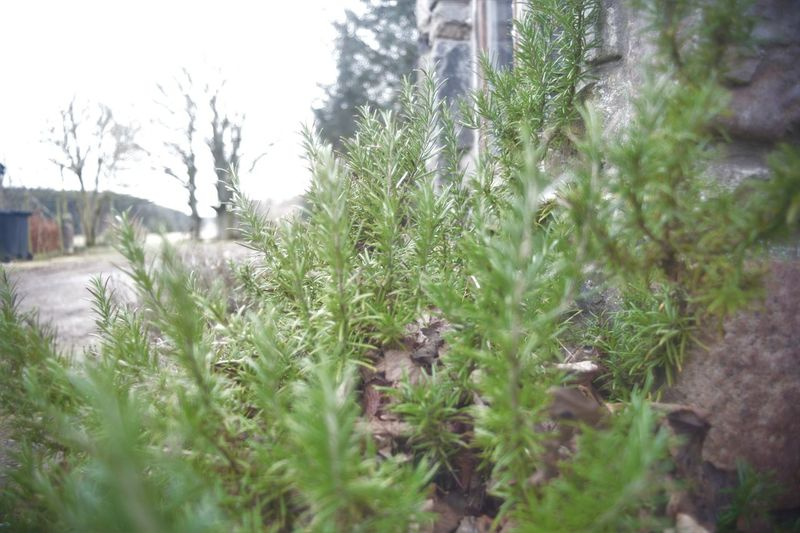 Checking Upload From PC Herbs Rosemary Winter Garden Close-up Green Color Nature No People Outdoors Plant Sleeping Garden