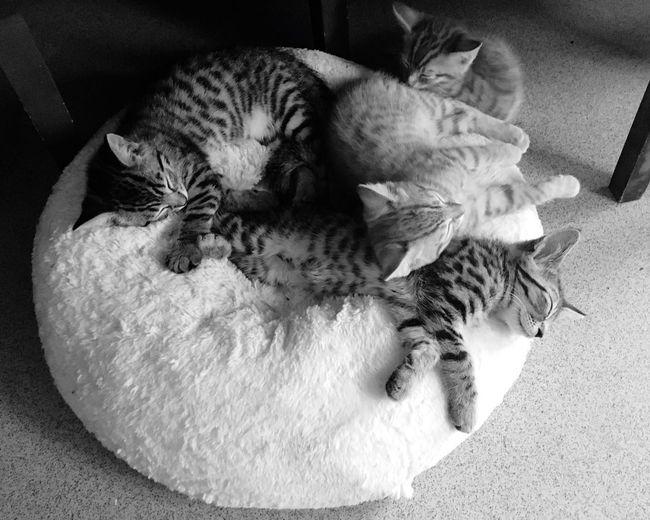 Kittens Sleeping No People Domestic Animals Muswell Hill Blackandwhite 9weeks Old Fresh On Eyeem