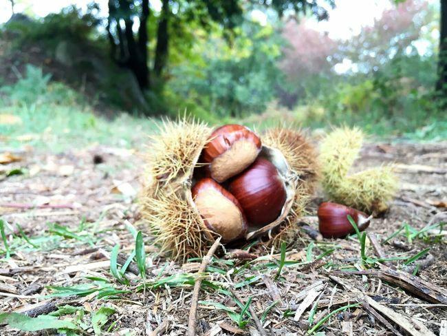 Catalunyaexperience Castañas Santa Fe Del Montseny Autumn🍁🍁🍁 Autumn Chestnut Eyemnaturelover Eyemphotography Eyemautumn