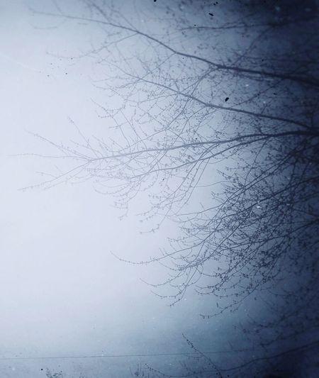 Bare Tree Mist