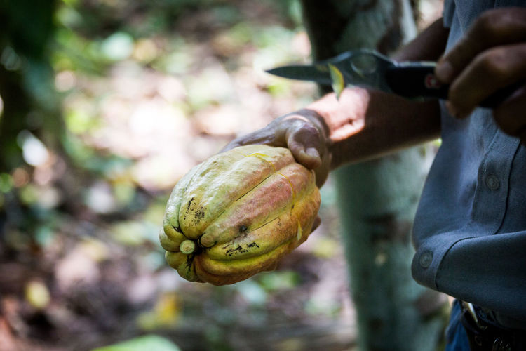 Fruta de cacao Cacao Close-up Day Focus On Foreground Food Food And Drink Freshness Fruit Healthy Eating Holding Human Body Part Human Hand Men Nature One Person Outdoors People Pumpkin Real People