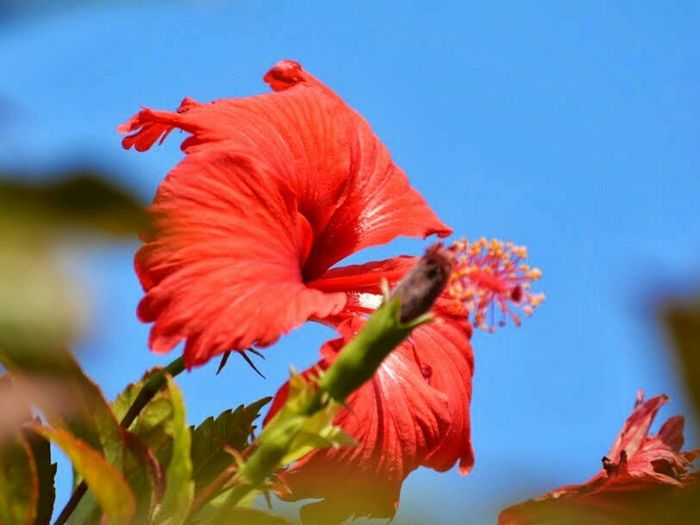 Red Flower , a Hibiscus - against the Blue Sky - Nature at its best. Summer Red Red Flowers Red Flower Against Sky Close-up Close-up Flower Petal Deep Red