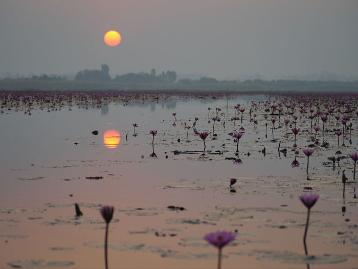 Water lilies blooming in pond at sunset