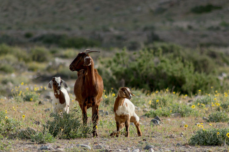 Goat family on field