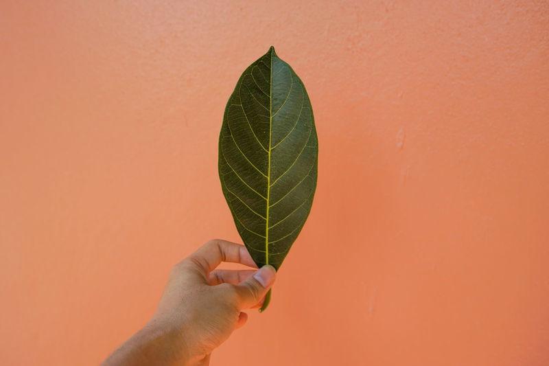 Close-Up Of Hand Holding Leaf Against Orange Background
