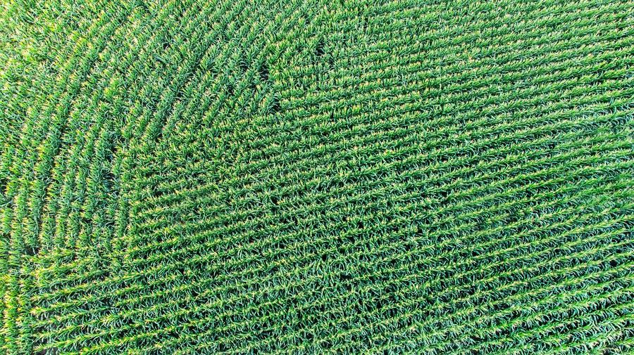 Cornfield pattern Drone Shot Cornfield Cultivated Field Agriculture DJI X Eyeem High Angle View From The Air Lines Crop  Harvest Curves And Lines Farmland Green Corn EyeEm Selects Nature Freshnesss Fragility EyeEm Gallery Backgrounds Field Textured  Pattern Growing 17.62°