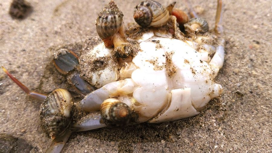 Mollusks feeding Sea Life Mollusks Feeding On Crab 😚 Dead 💀 Sand Close-up Low Angle View Low Tide Animal Themes Animal Wildlife Hermit Crab The Great Outdoors - 2018 EyeEm Awards