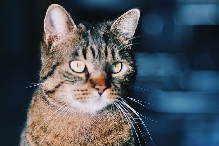 Close-up of a cat looking into camera