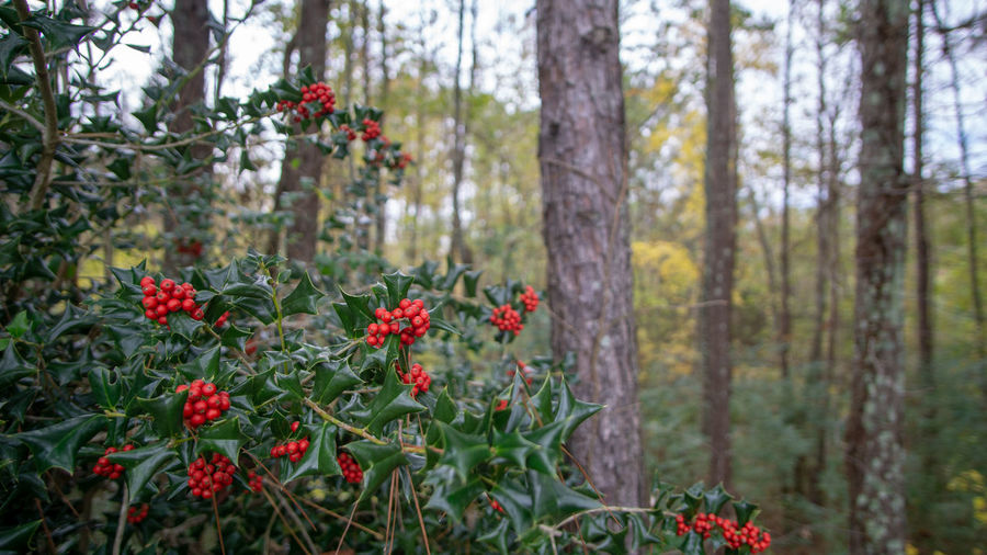 Plant Growth Flowering Plant Nature Tree Land Beauty In Nature Forest Red No People Day Focus On Foreground Outdoors Tranquility WoodLand Green Color Plant Part Hollywood Berries