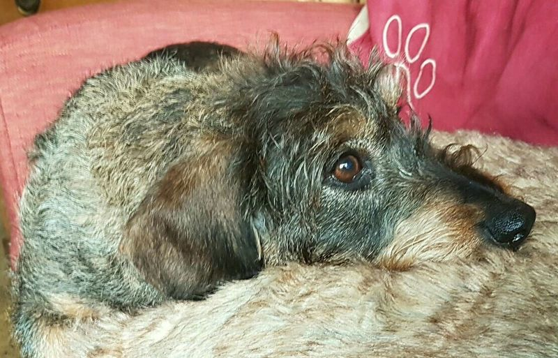 One Animal Animal Themes Pets No People Whiredhairdog Dackel Teckel Amor Mio Teckel Dackelblick Teckeloneyeem Teckelphoto Wienerdog Dachshund The Portraitist - 2017 EyeEm Awards