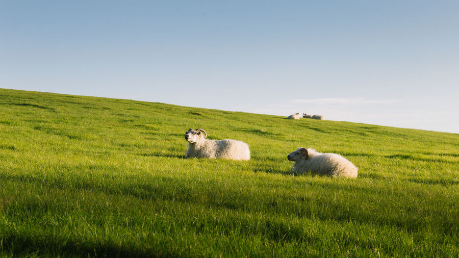 Sheep Relaxing On Field Against Sky